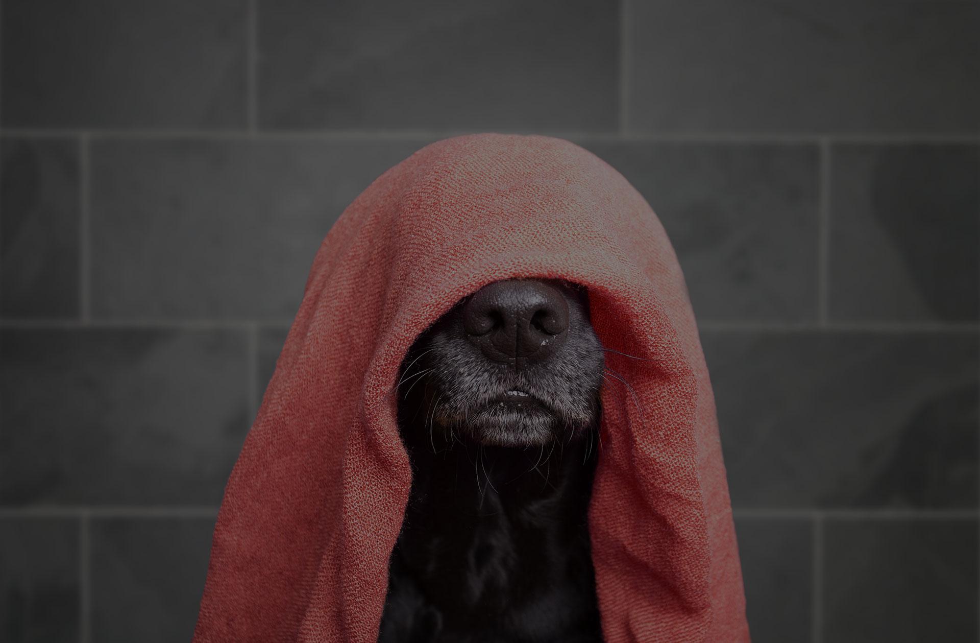 Labrador with towel on head