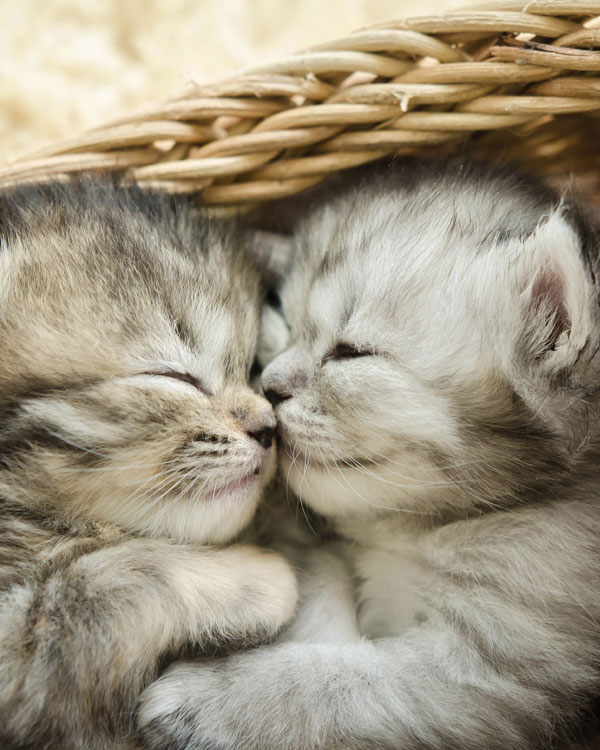 Cute tabby kittens sleeping and hugging in a basket